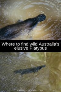 We were lucky enough to find the elusive Platypus while exploring Far North Queensland. Find out where and how you can find wildl Platypus with our latest guide! | How to find Platypus, Where to find wildlife in Australia, Australia's unique wildlife | #wildlifeAustralia #widllife #australiatravel #seeAustralia #wild #platypus #rareanimals #cutewildlife |