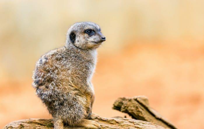 Seeing wild meerkats in South Africa