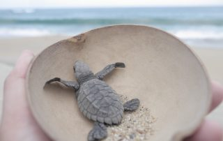 working with wild turtles in mexico
