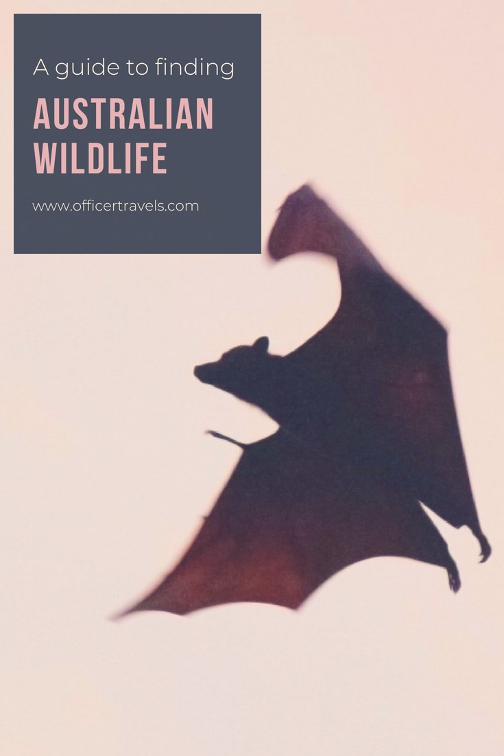 Where to find Australian wildlife   Are you looking for Australias most unique wildlife? Would you prefer to see them in the wild? We've put together this epic guide to help you see Australias native animals in the wild. Whether it's Koalas, Dingos or even tree Kangaroos, we know just the place to find them!   #Australia #wildlife #discoverwildlife #nswtips #ethicaltourism #animals #koala #thingstodoinaustralia