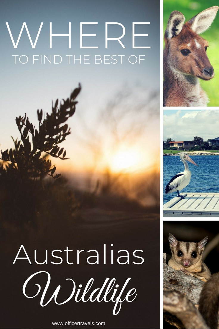 The best places to find wildlife in Australia | Are you looking for Australias most unique wildlife? Would you prefer to see them in the wild? We've put together this epic guide to help you see Australias native animals in the wild. Whether it's Koalas, Dingos or even tree Kangaroos, we know just the place to find them! | #Australia #wildlife #discoverwildlife #nswtips #ethicaltourism #animals #koala #thingstodoinaustralia