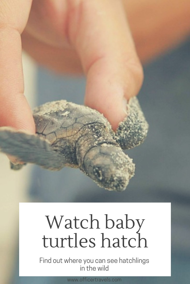 Find out where you can see baby turtles in mexico in an ethical wildlife encounter | #mexico #ethicaltravel #wildlifeguide