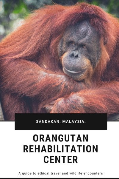 finding wild orangutan in Malaysia | If you're looking for ethical wildlife experiences while you're travelling Malaysia, we've got the perfect guide for you. This Orangutan rehabilitation center is the perfect mix. Enableling you to get a close look at these animals while they remain undisturbed by tourists | #wildlife #travel #ethicaltravel #wildlifeadventure #travelblog #orangutan