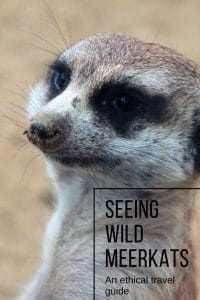 Do you want to see meerkats in the wild? we've put together this ethical guide on how to see them in the wild in South Africa | #ethicaltravel #wildlifeencounter #wildmeerkats #wildlife #southafrica #travelafrica