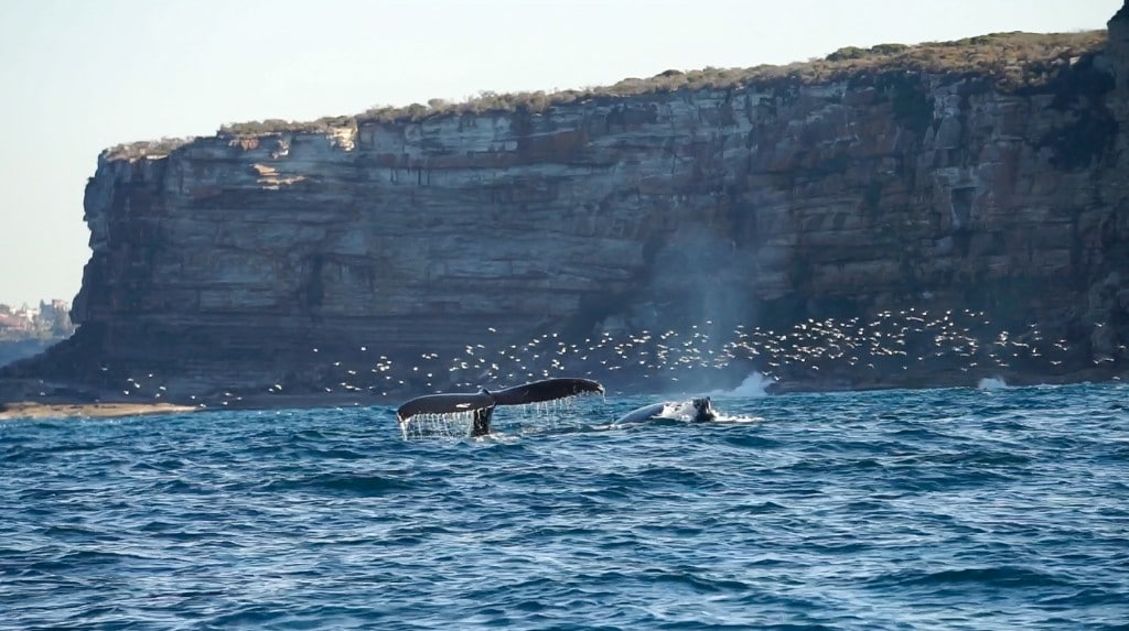 Whale watching in Sydney – A day trip to remember!
