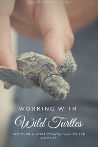 Seeing turtles in the wild is an amazing experience, find out where you can see hatchling and get up close and personal with these amazing animals | #wildlife #ethicaltravel #mexico