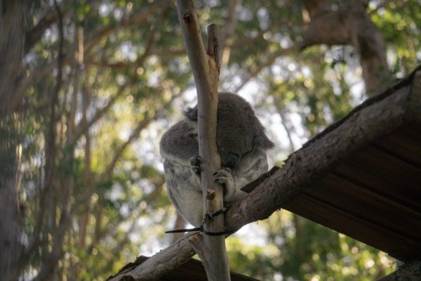 You'll see koalas like this one napping while on a visit to Port Macquarie Koala Hospital