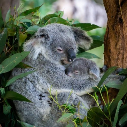 koala and baby poster