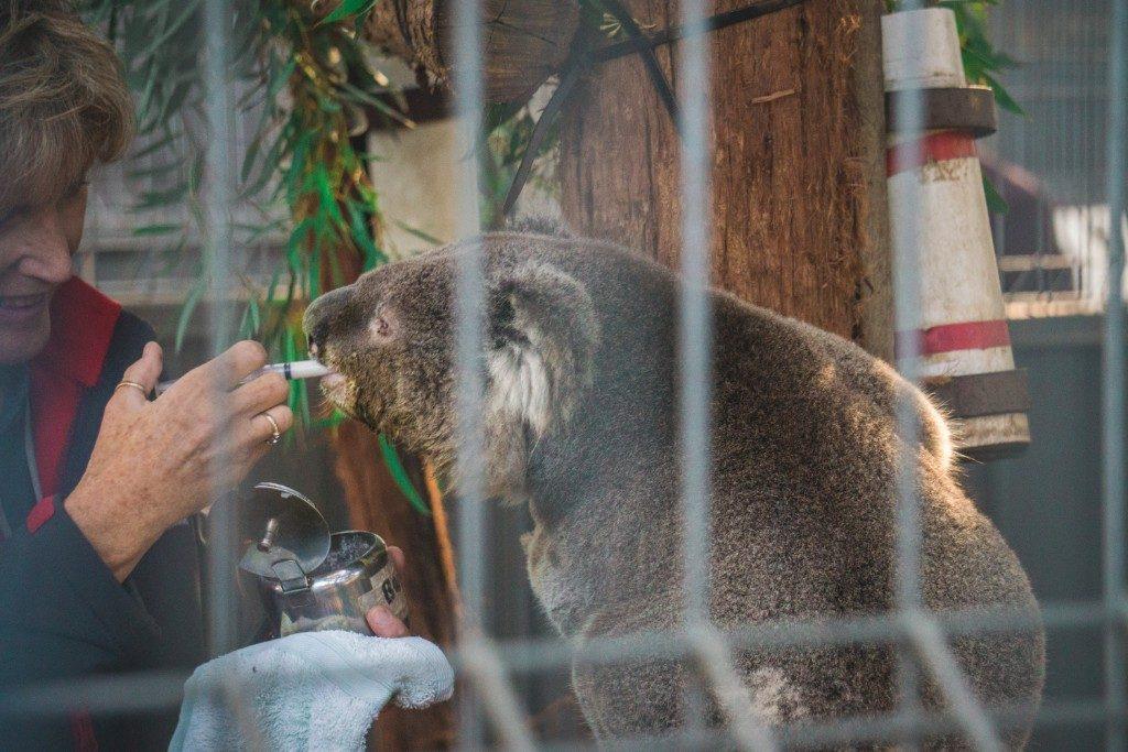 Why you should take a visit to Port Macquarie Koala Hospital