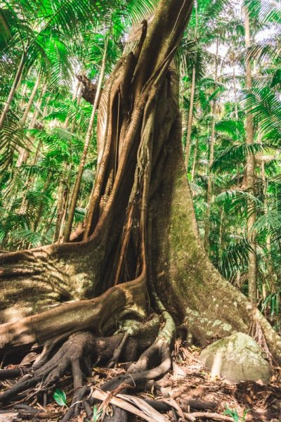 Giant strangler fig on the cedar creek falls walk, one of many walking tracks in Mount Tamborine