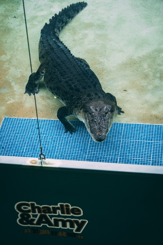 Charlie, Australia Zoo's grumpiest Croc - Just another reason to visit Australia Zoo| #Australia #Zoo #wildlife #ethicaltourism #conservation #australianwildlife #thingstodoinAustralia
