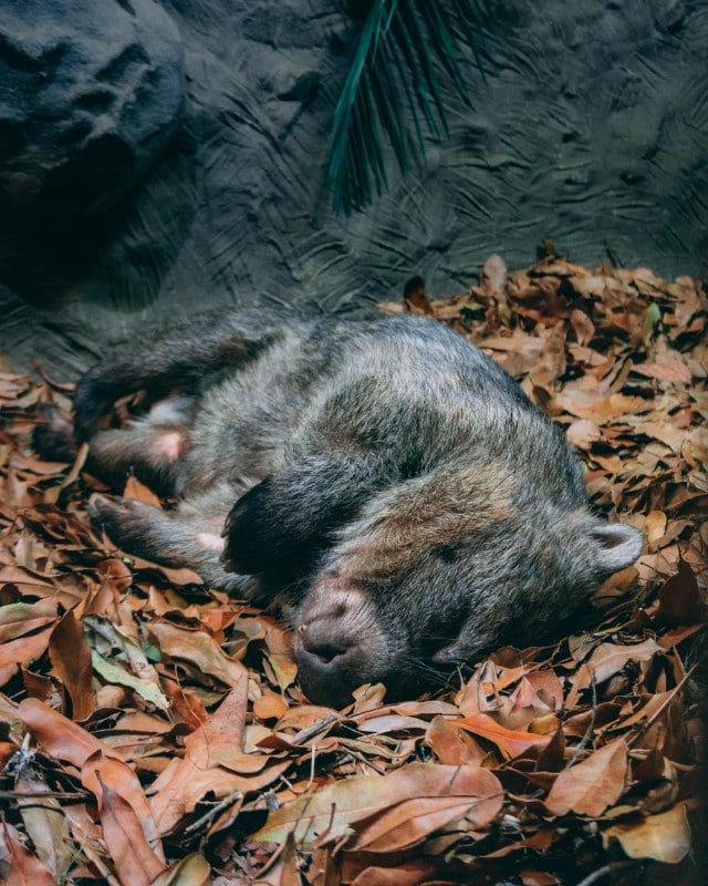 How cute is this Sleeping Wombat at Australia Zoo? Read more about our two days at Australia Zoo in this post! | #Australiazoo #visitqueensland