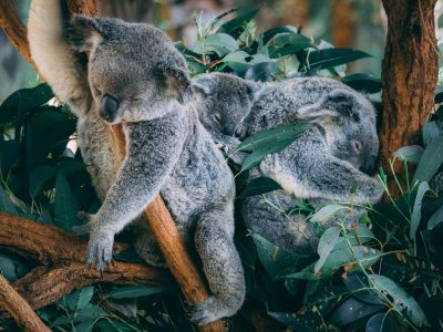 Koala Family sleeping at Australia Zoo - just part of the photo diary showcasing why you should visit Australia Zoo on a two day pass