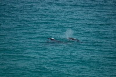 Whales swimming in the waves on Fraser Island