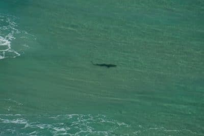 Tiger Sharks at Fraser Island