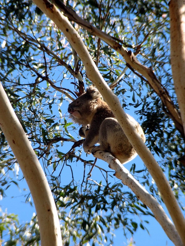 A Koala in Noosa - one of the best place to visit between Brisbane and Cairns