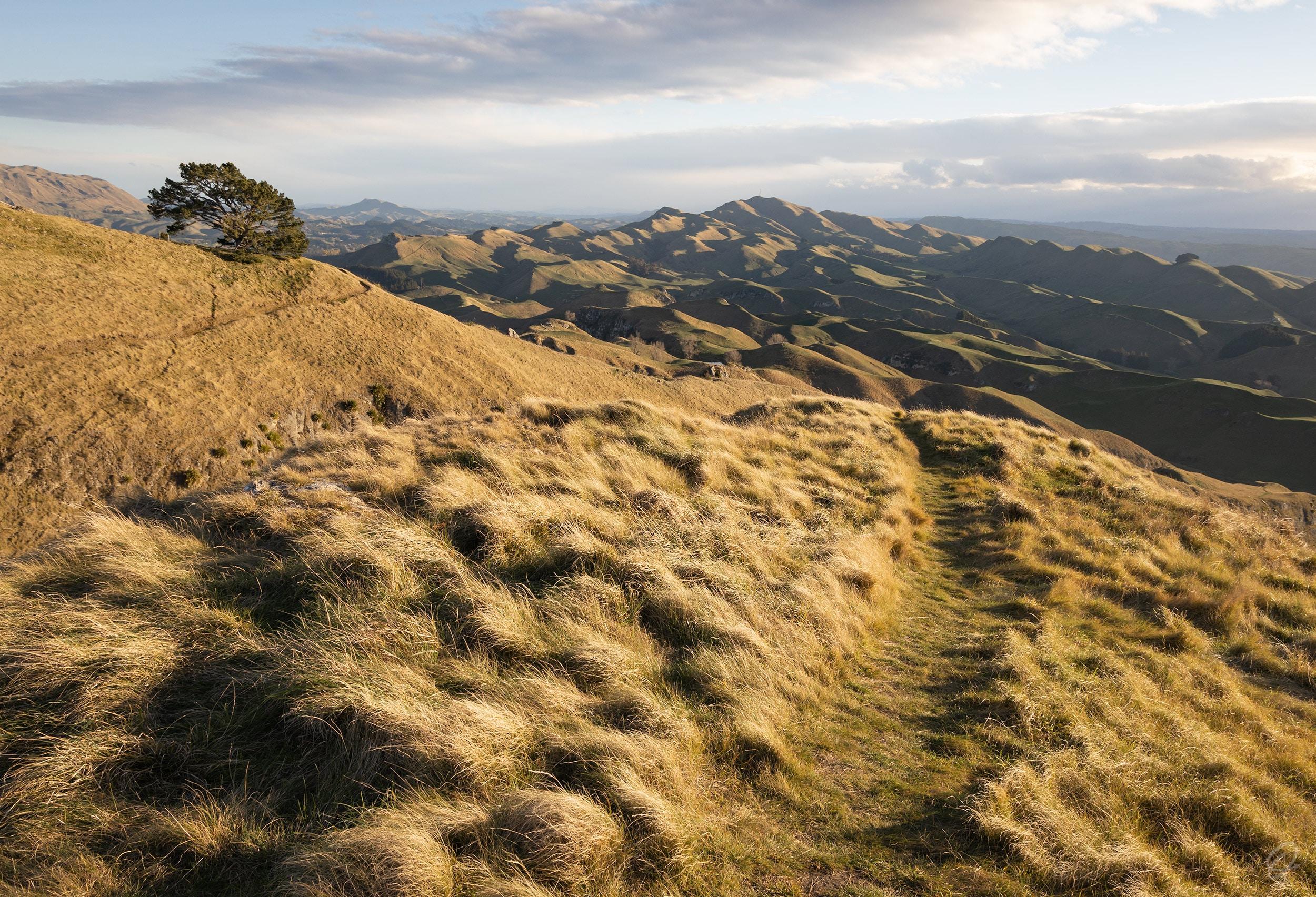 gold grassy hills