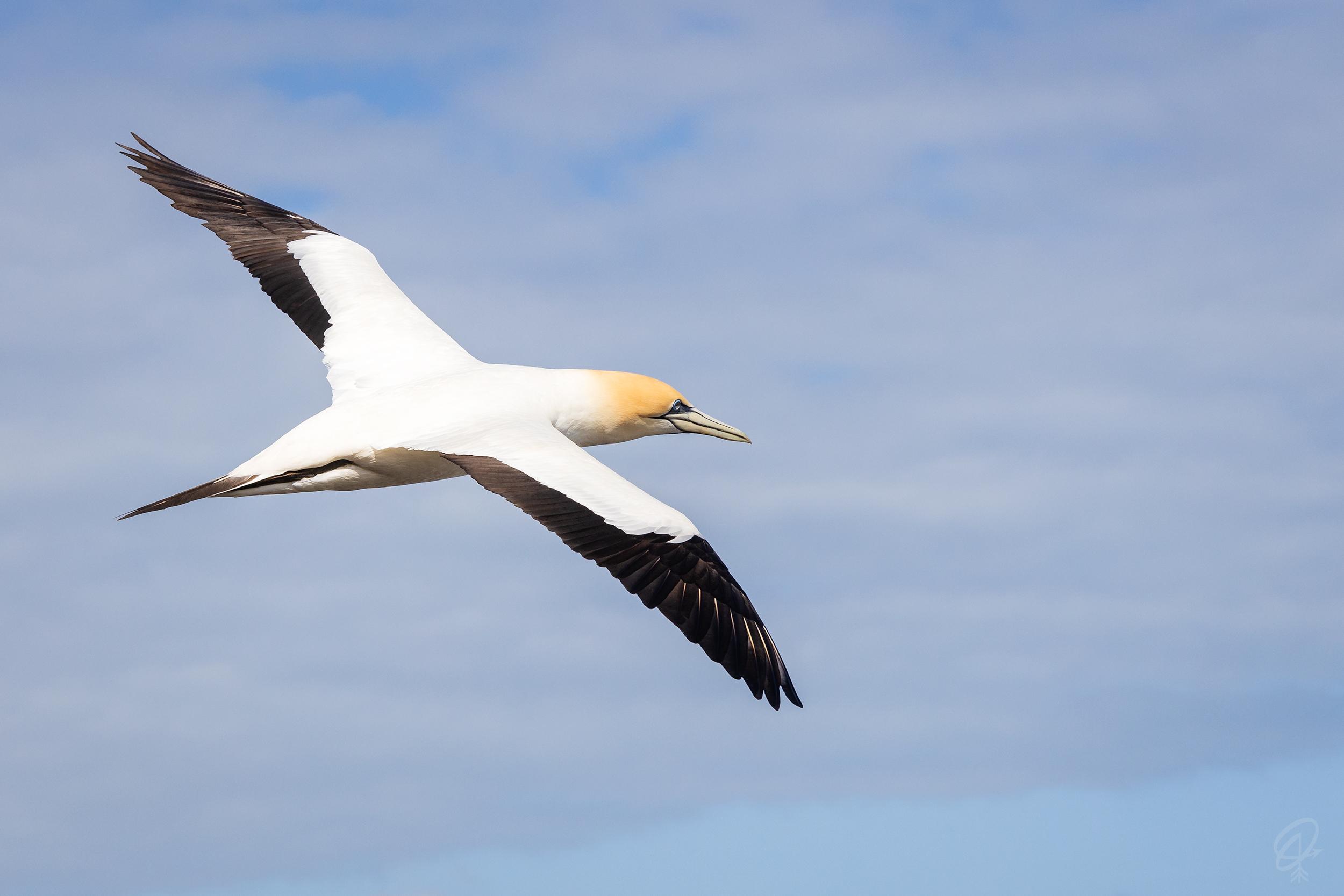 flying gannet