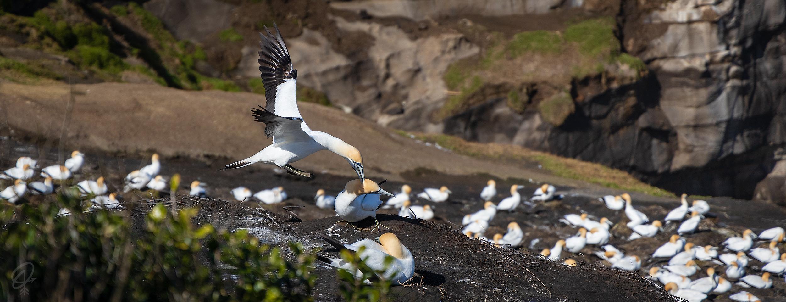 gannets flying over nest