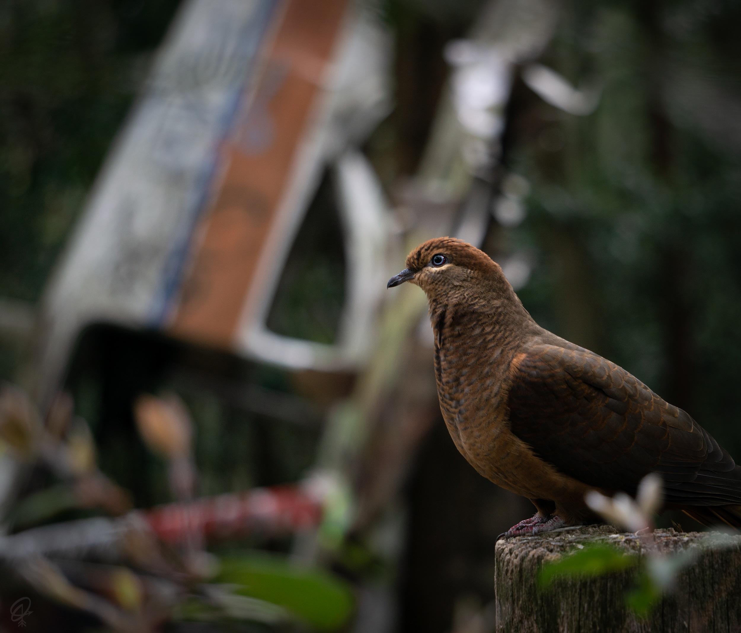 wood pigeon and plane