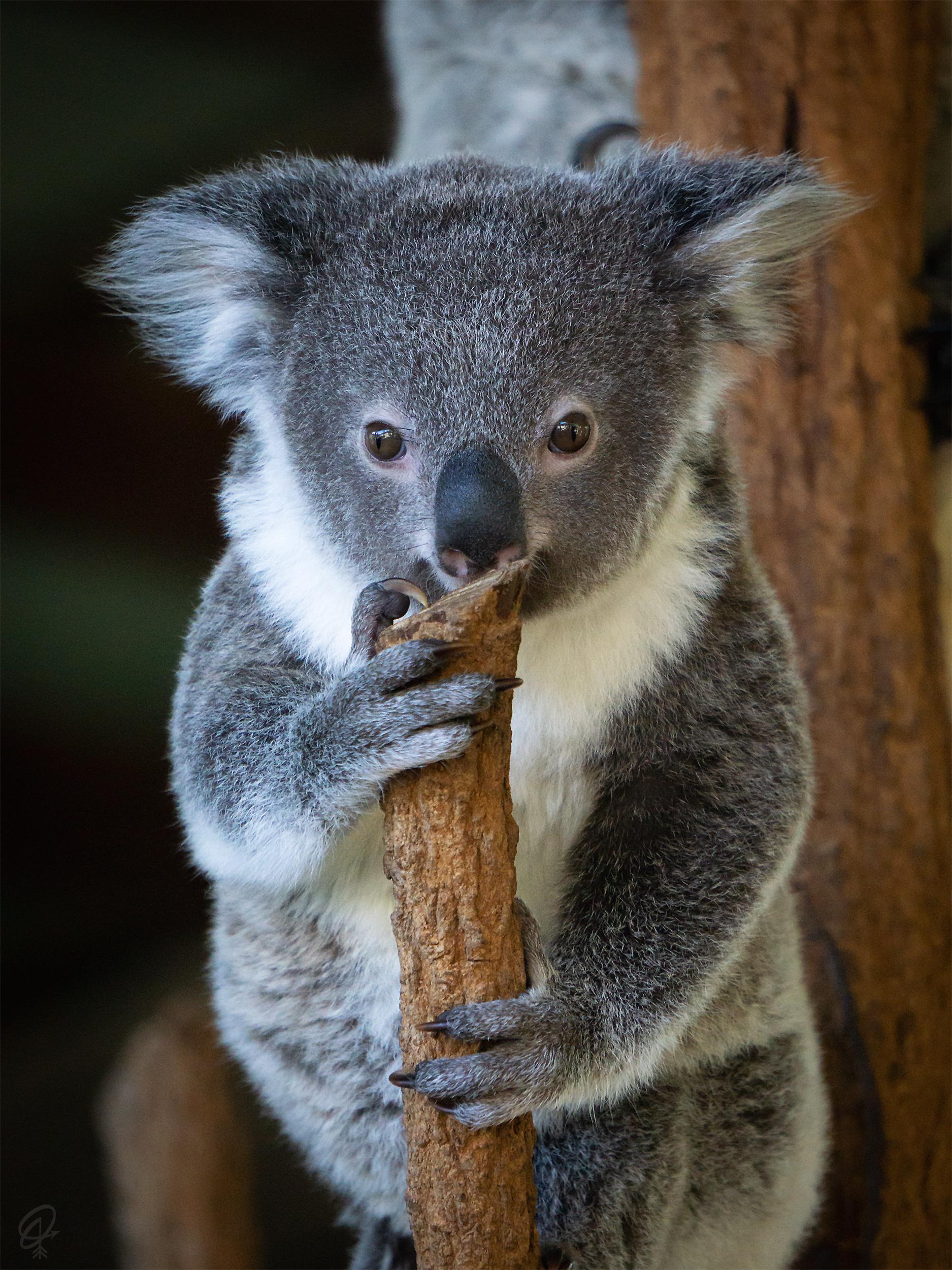 baby koala in tree