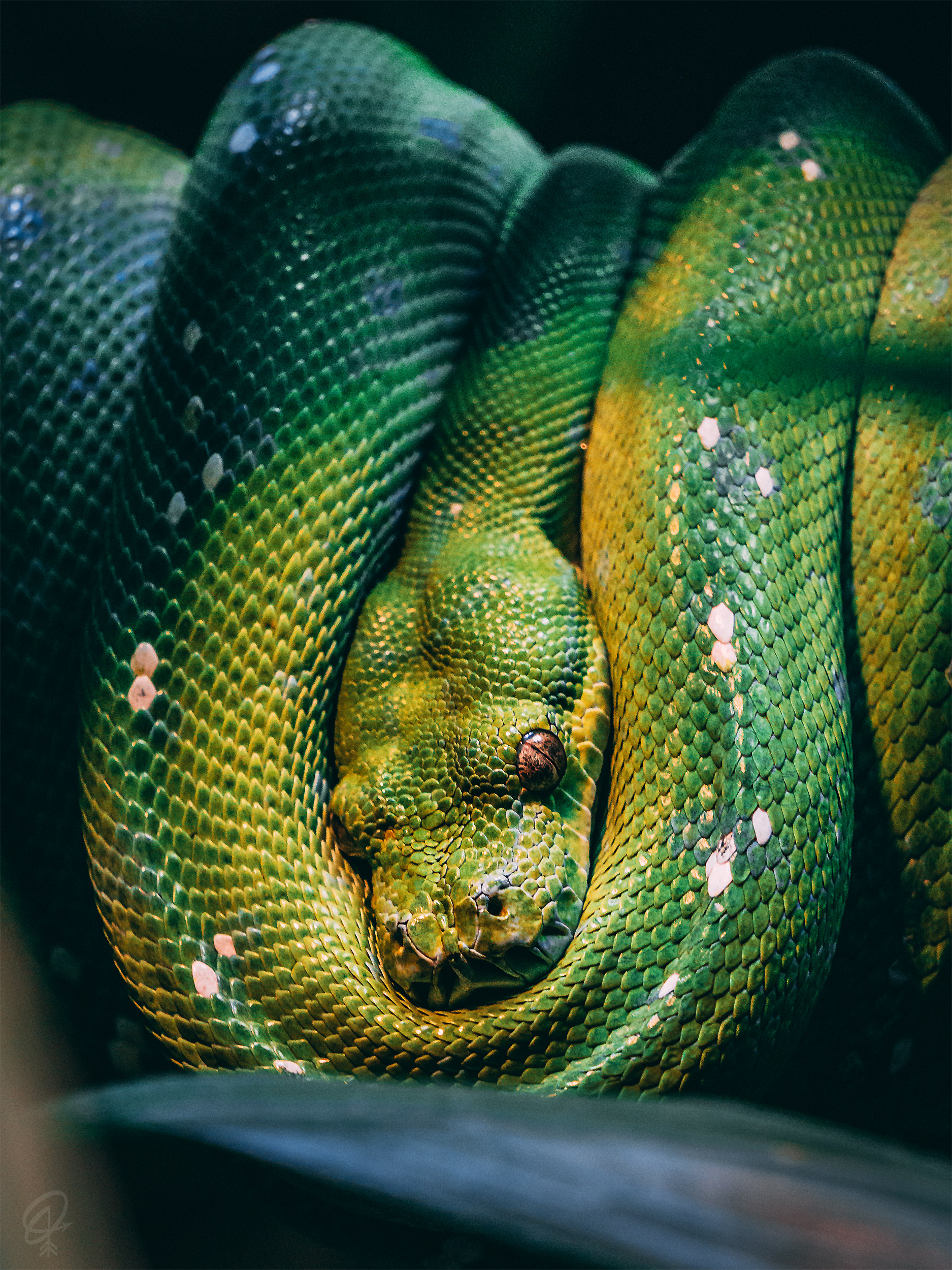tree snake hanging from branch