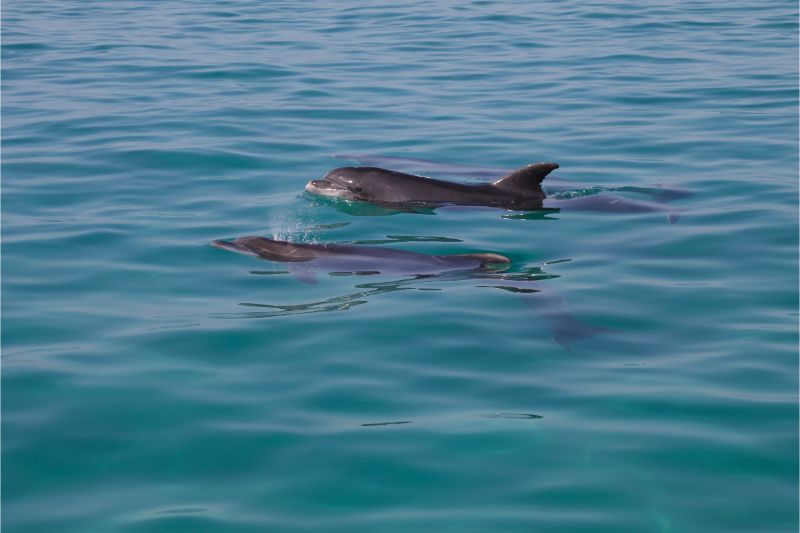 One of the unique places to see on New Zealand's North Island is the Bay of Islands and their dolphins like these.